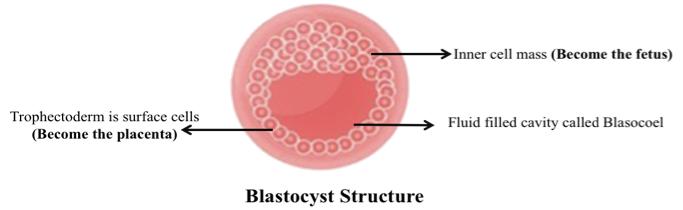 BLASTOCYST TRANSFER PROCESS